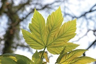 Gewone esdoorn; acer pseudoplatanus; Common maple